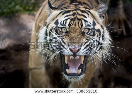 Angry Sumatran Tiger - stock photo