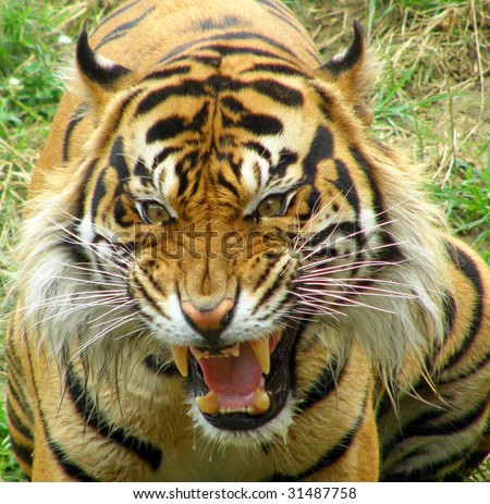 Angry tiger face - photo#20