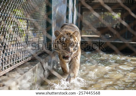 Angry tiger in the cage. - stock photo