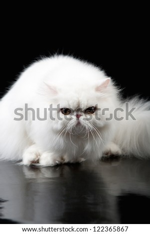 Angry white persian cat on black background