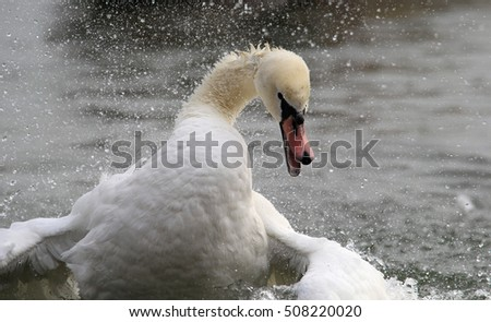 Angry wild swan splashing , mute swan spreads its wings on Danube river in Zemun, Belgrade, Serbia.