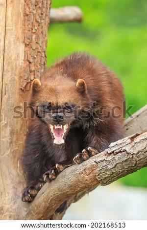 angry wolverine baring teeth