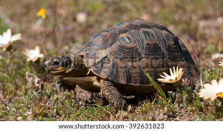 Angulate Tortoise (Chersina angulata) Cape Province, South Africa