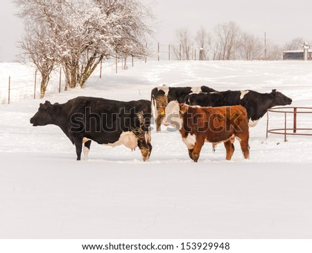 Angus cow grazing in the snow - stock photo