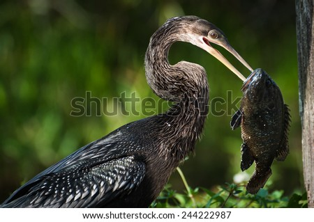 Anhinga holding a fish in the bill
