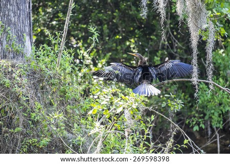 Anhinga or Snake Bird Drying Its Wings on a Tree Branch - stock photo
