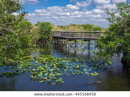 Anhinga Trail Boardwalk through the Everglades National Park, Florida with Alligator Swimming in Foreground