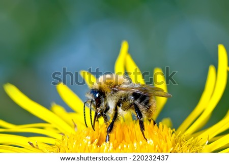 Animal a bee on a yellow flower collects nectar