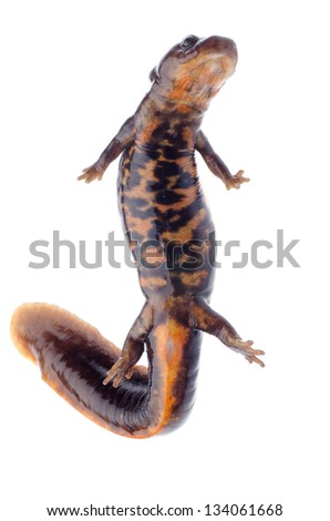 animal amphibian salamander newt isolated - stock photo