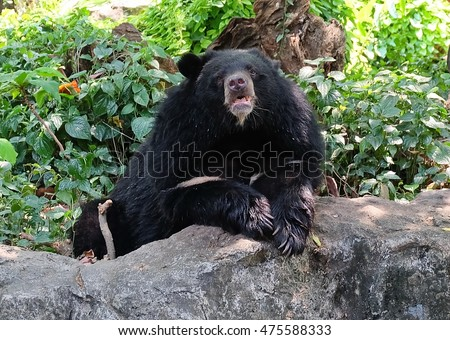 Animal and Wildlife, Asian Black Bear, Moon Bear and White Chested Bear Sitting on A Rock.