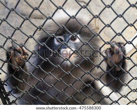 Animal and Wildlife, Gray Langur or Dusky Leaf Monkey Sitting in A Cage. A Species of Monkeys Native to Forests in South Asia.