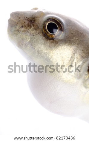 animal balloonfish isolated on white