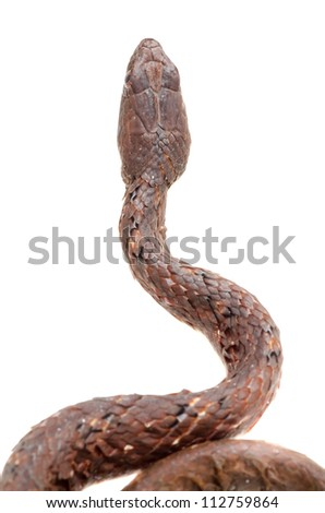 Animal brown purple sands cobra snake, Psammodynastes pulverulentus, isolated on white. - stock photo