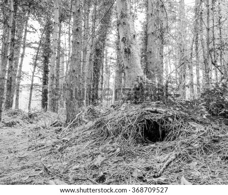 Animal Burrow in tree roots in Irish woodland, County Down, Northern Ireland.