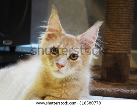 Animal Cat, Little brown kitten portrait up isolated , Close up  Maine coon, 4 month old  looking at camera , Main Coon Cat - stock photo