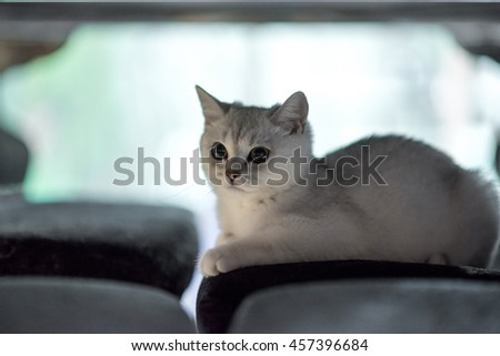 Animal : Cat, Pet Resting cat on a sofa in  blur background, cute funny cat close up, young playful cat on a bed, domestic cat, relaxing cat and playing at home. British Short hair in white cat. - stock photo