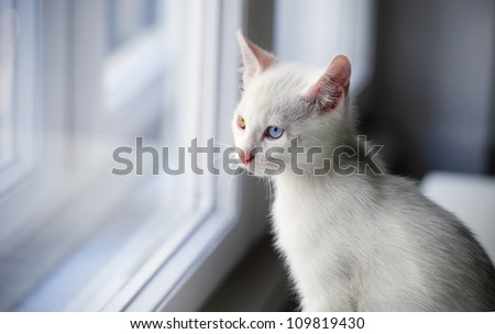 animal, cat window - stock photo
