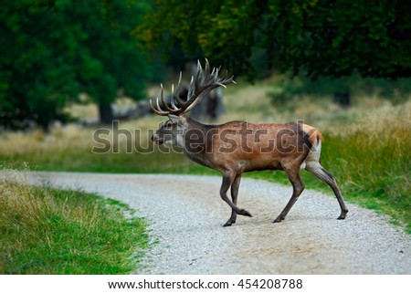 Animal crossing road. Deer in the forest. Red deer stag, bellow majestic powerful adult animal outside autumn forest, big animal in the nature forest habitat, England. Wildlife scene from nature.  - stock photo