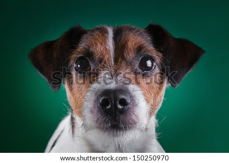 animal, dog breed, pet - stock photo