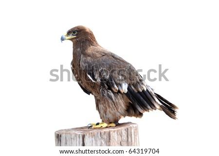 animal eagle bird  isolated on white - stock photo