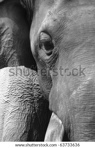 animal elephant face black and white - stock photo
