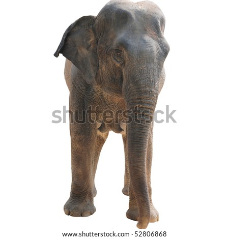 animal elephant isolated in white - stock photo