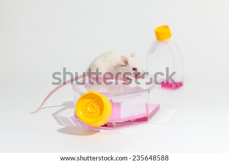 Animal experiment, white laboratory mouse, cell culture flasks, growth medium - stock photo
