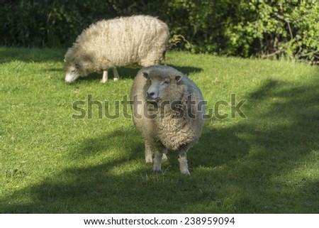 Animal farm with two grazing sheeps. New Zealand - stock photo