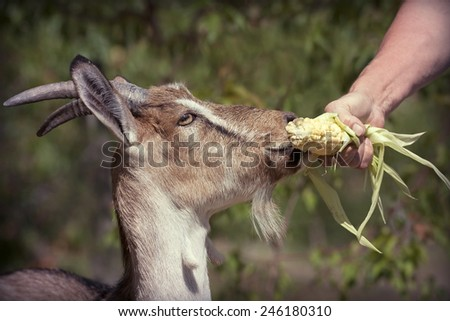 Animal feeding - hungry goat eating corn from hand - stock photo