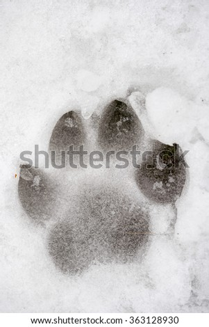 Animal footprint in the frozen snow in winter