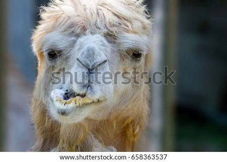 animal head of a camel that chews