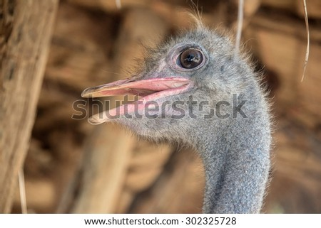 Animal head portrait - Closeup of Ostrich head with sweet eye - stock photo