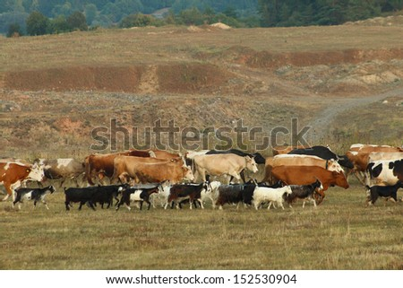 Animal herd mix in the sunset - stock photo