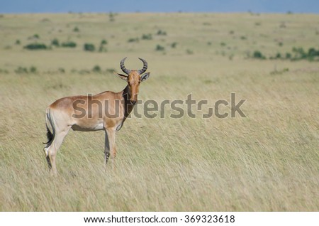 Animal in Masai Mara National Park in Kenya. - stock photo