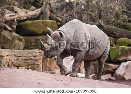 Animal life in Africa: Black rhinoceros. diceros bicornis - stock photo