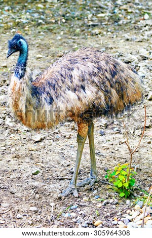 Animal- Ostrich Emu in its natural habitat. - stock photo