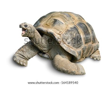 Animal portrait of a beautiful giant tortoise looking funny and cheerful, isolated on white - stock photo