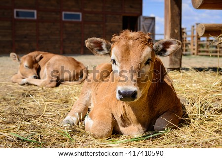 animal red calf child cow farm agriculture