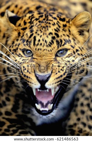 Leopard Roar Stock Images, Royalty-Free Images & Vectors ...