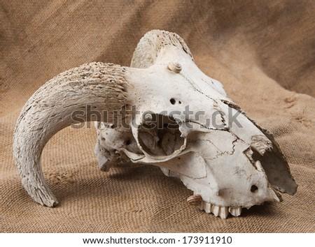 animal's skull on sacking background - stock photo