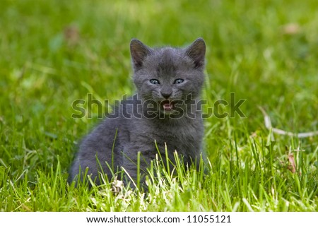 animal series: gray kitten on the green grass