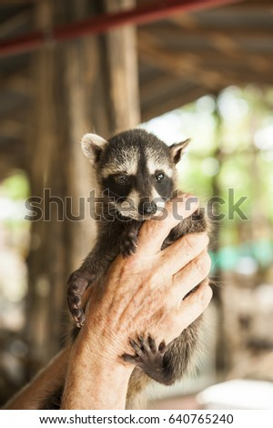 Animal shelter worker holding up a baby raccoon