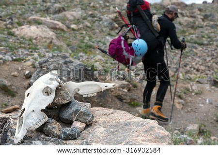 Animal Skull and Hiker with Backpack walking on Trail on Background Large White Cranium of Unknown Animal located on Stone and Body of Man with Trekking Poles Going Behind - stock photo