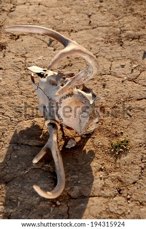 Animal skull on parched earth/Drought Conditions/Deer skull laying on dry earth. - stock photo