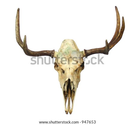 Animal Skull (with clipping path) - stock photo
