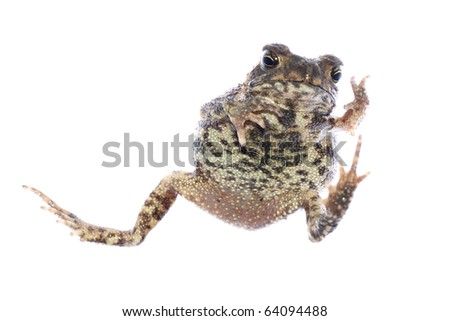 animal toad frog jump isolated on white - stock photo