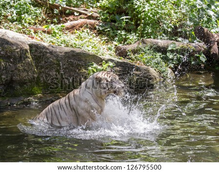 Animal: White Tiger splashing the water