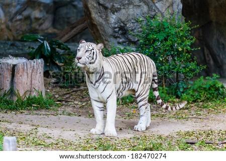 Animal: White Tiger walking - stock photo