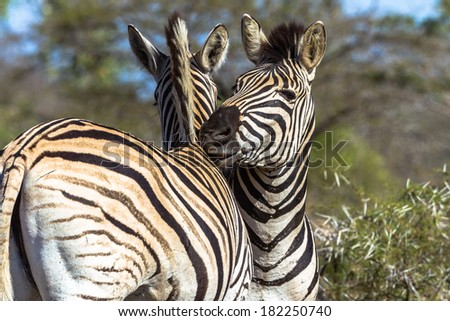 Animal Wildlife Zebras Affections Zebras two with neck head rubbing affections - stock photo