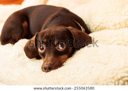 Animals at home. Dachshund chihuahua and shih tzu mixed dog relaxing on bed on woolen blanket indoor - stock photo